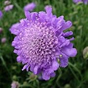 Bat friendly plant. Click image to learn more & add to your own plants list in Shoot.  Scabiosa 'Butterfly Blue', Pincushion flower 'Butterfly Blue', Scabious 'Butterfly Blue', Scabiosa columbaria 'Butterfly Blue', Scabiosa 'Butterfly Blue Beauty'    'Butterfly Blue' is a mounding, clump-forming perennial with fine cut, grey-green basal leaves. It has pincushion flowers that are lavender blue, standing on erect stems from spring until frost.
