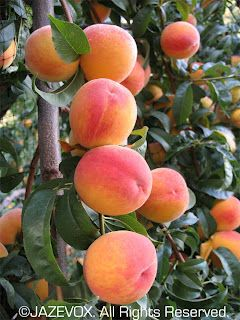 Keep Ants Off Your Fruit Trees with tree paint @Kristine Howard