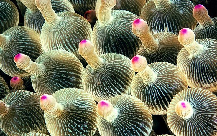 МОРСКАЯ АКТИНИЯ Макро-фотография щупалец морской актинии (Bulb-tentacle Sea Anemone или Entacmaea quadricolor) с эффектом набухания кончиков, который забавно изменяет форму, придавая оконечностям форму луковицы или груши с отростком разной кривизны и формы.