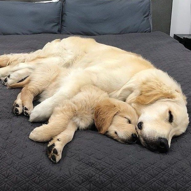 Good Night And Sweet Dreams Dogs Golden Retriever Golden