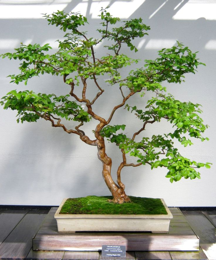 25 best ideas about bonsai plants on pinterest bonsai - A gardener is planting two types of trees ...