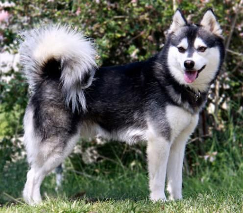 Alaskan klee kai dog photo | Alaskan Klee Kai fotos - Hunderacer.com