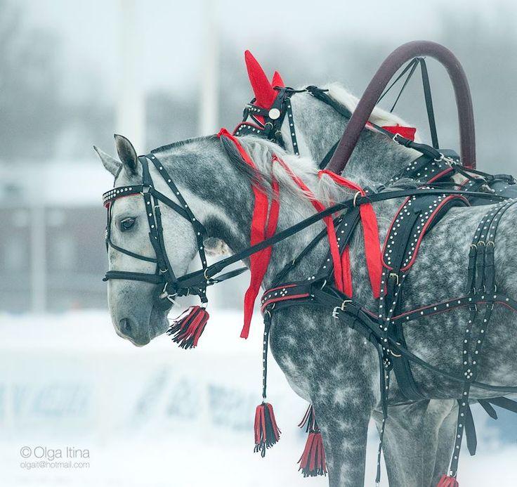 Орловцы - Избранные фотографии - фотографии - equestrian.ru