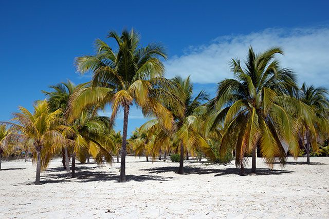 Palmiers sur sable blanc, Cayo Largo del Sur, Cuba. http://www.lonelyplanet.fr/article/farniente-sous-le-soleil-cubain #palmiers #sableblanc #Cayolargodelsur #Cuba #voyage #plage #beach