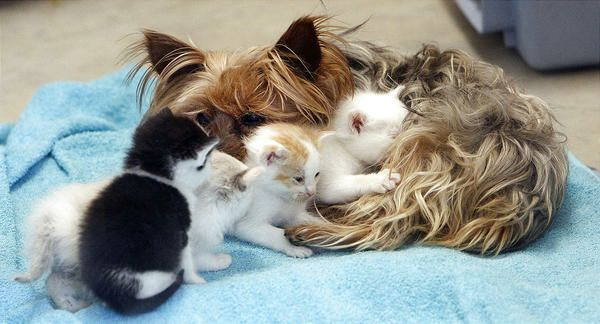 Aww yorkie mom saves a litter of kittens!!: Yorkie Adoption, Foster Care, Mothers Love, Cat, Mothers Day, Small Dogs, Pet, Animal Track, Yorkshire Terriers
