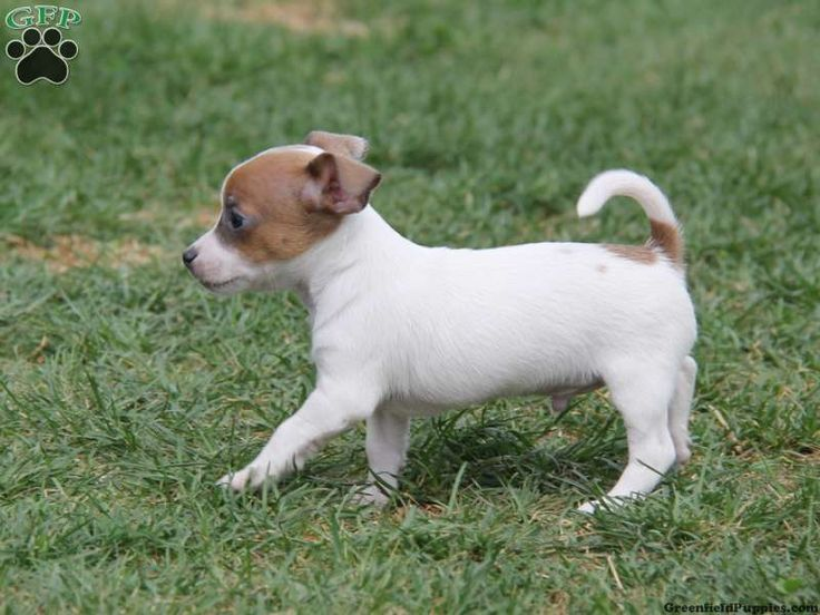 Jack russell terrier pitbull mix puppy