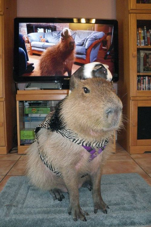 Capybara  A capybara is something like a giant guinea pig. So it makes sense that it would make a good pet. They're curious, friendly and really big. Adults reach up to 4 feet long and weigh 100 lbs.