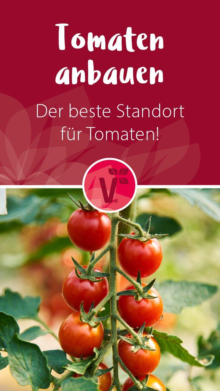 Tomaten Anbauen Der Beste Standort Fur Tomaten Plant Happy In 2020 Tomaten Anbauen Tomaten Sorten Tomaten