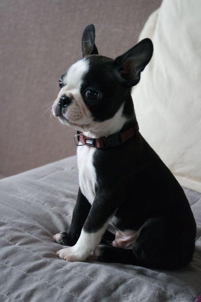 Burton mon petit boston terrier                                                                                                                                                     Plus