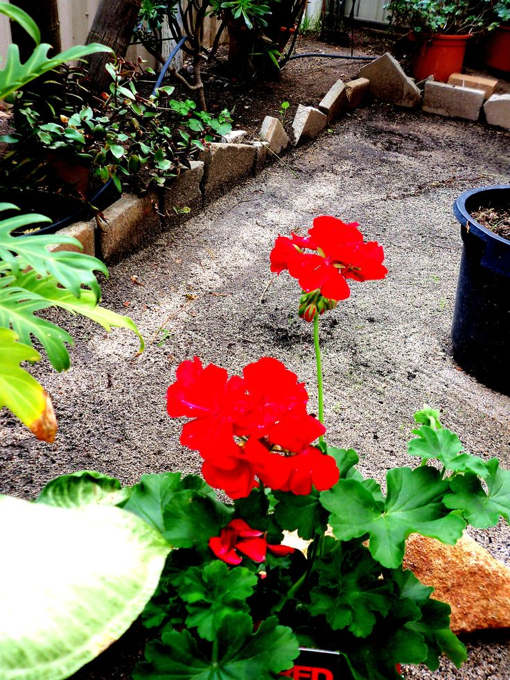 ONE OF MY BRILLIANT RED GERANIUMS