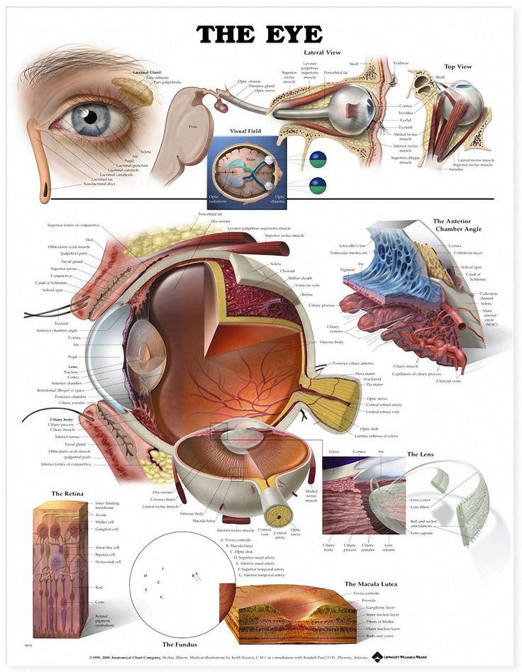 15 best Eye Anatomy images on Pinterest | Eye anatomy, Human eye and ...