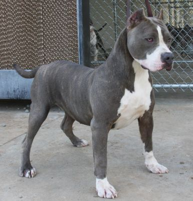 Blue Nose Pit Bulls for sale | Co-Co CHANEL AT 1 YEAR OLD.