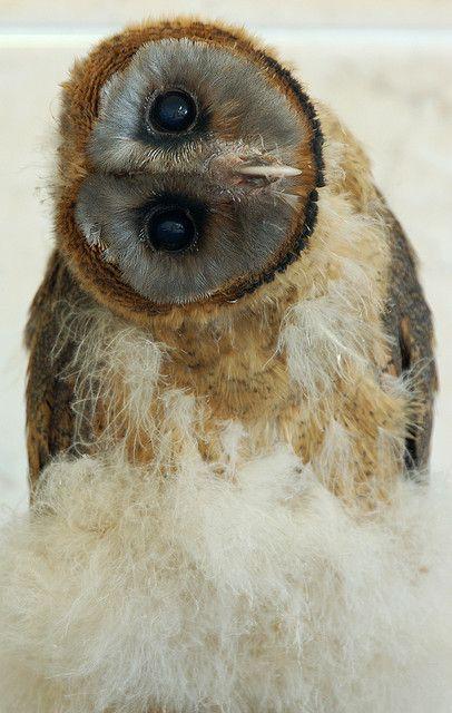 -Baby Owls, Beautiful, Creatures, Adorable, Ashy Face, Birds, Face Owls, Hoot, Animal
