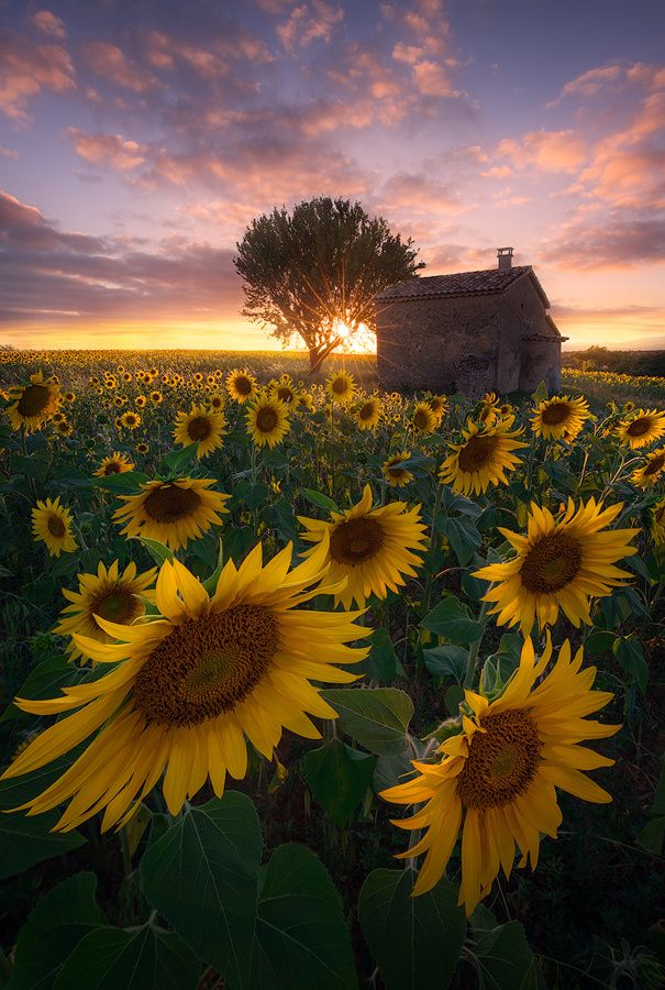When Time Stands Still by Alexandre Ehrhard #sunflower #ひまわり