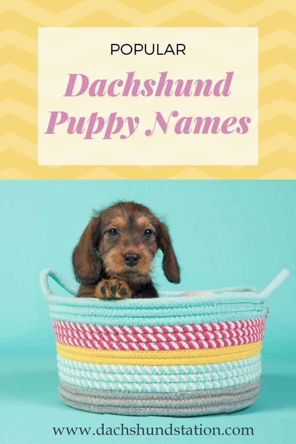 Best Dachshund Names Of 2020 In 2020 Puppy Names Dog Names
