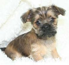 Pugshire Terrier Puppies | Pug designer breeds, Pug mixed breeds - ALL DOGS WELCOME