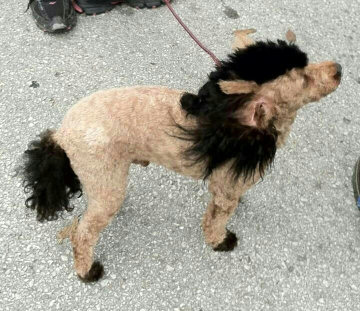 how to cut dogs hair poodle