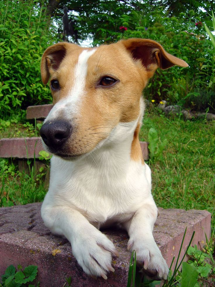 Cool Smooth Coat Jack Russell Terrier