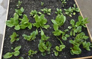 Gardening - In a yard of concrete add a vegetable garden with a raised bed.