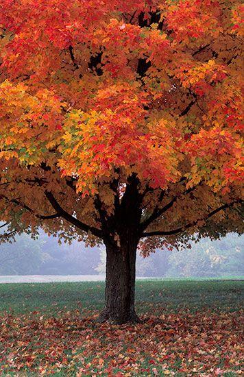 Kansas Maple -- Henry Domke Photography
