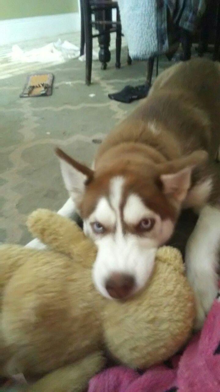 Rizzle In Attack Mode Cute Dog Husky Siberian Siberianhusky