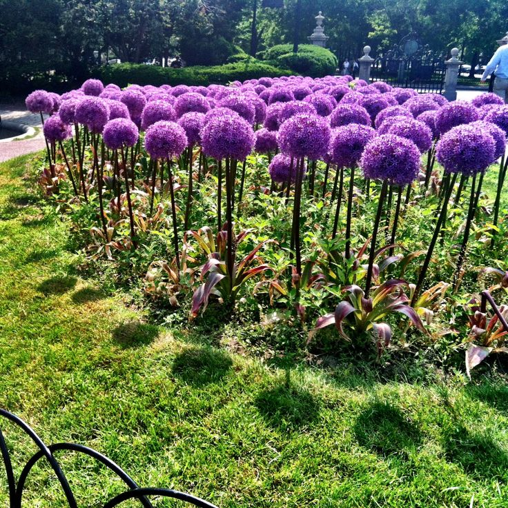 Giant Allium flowers