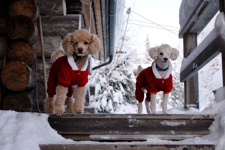 Tobbe the Poodle and his poodle brother Ressu spending Christmas <3