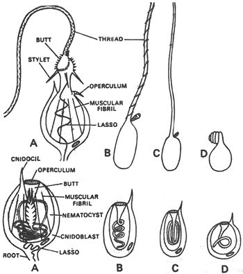 Hydra Cnidaria Diagram 75162
