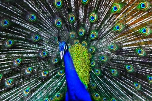 The meaning of the dream in which saw «Peacock» by Shamsul Haque Suza on 71pix.com