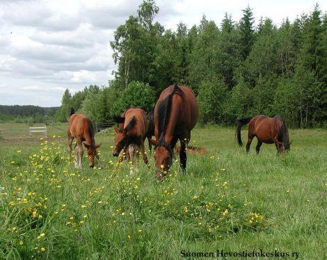 Hevostietokeskus - Hevonen on valikoiva laiduntaja, joka välttelee myrkyllisiä kasveja