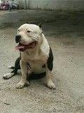 MIL ANUNCIOS.COM - Bulldog americano. Anuncios de montas de perros bulldog americano. Reproducción de perros de raza y perros para montas bulldog americano.