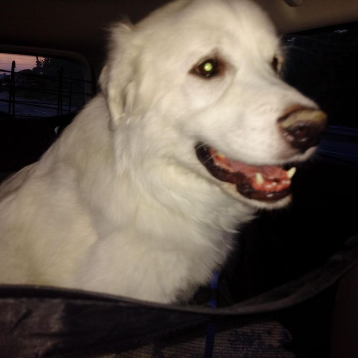 Dakota - Foster Opportunities Available is an adoptable great pyrenees searching for a forever family near London, ON. Use Petfinder to find adoptable pets in your area.