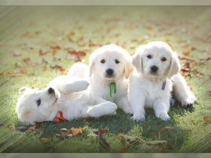 die süßesten hunde welpen