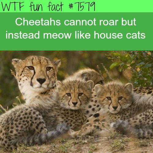 Cheetahs don't roar - WTF fun facts