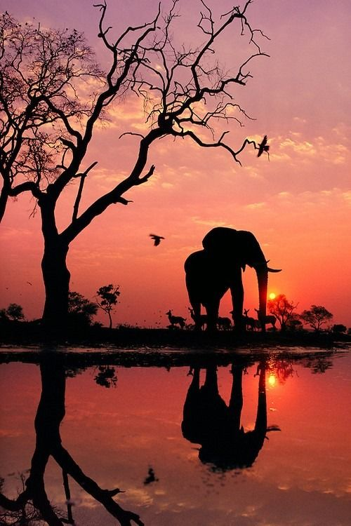 African Elephant at Dawn by Frans Lanting