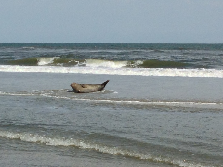 You never know who you'll find sunbathing at Brigantine's North End Beach....  (photo taken 4/27/13 by Beth Ritter)