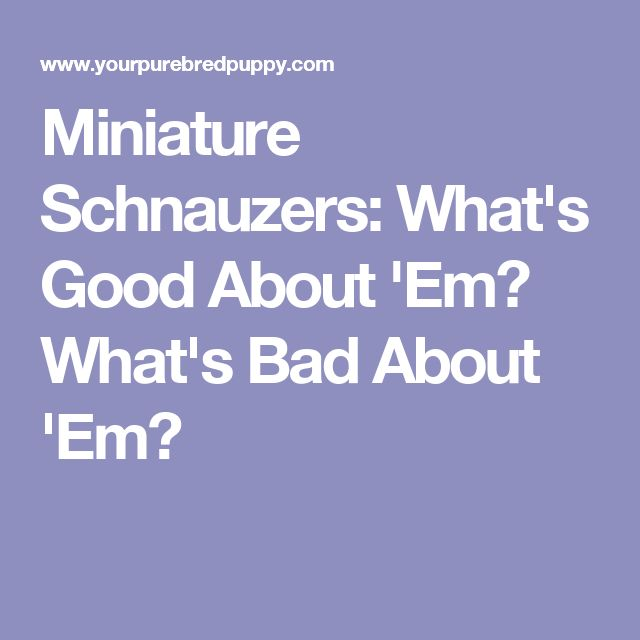 Miniature Schnauzers: What's Good About 'Em? What's Bad About 'Em?