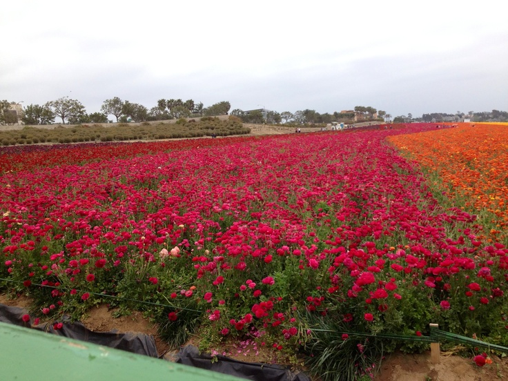 Clarlsbad's Flower Fields, spectacular path