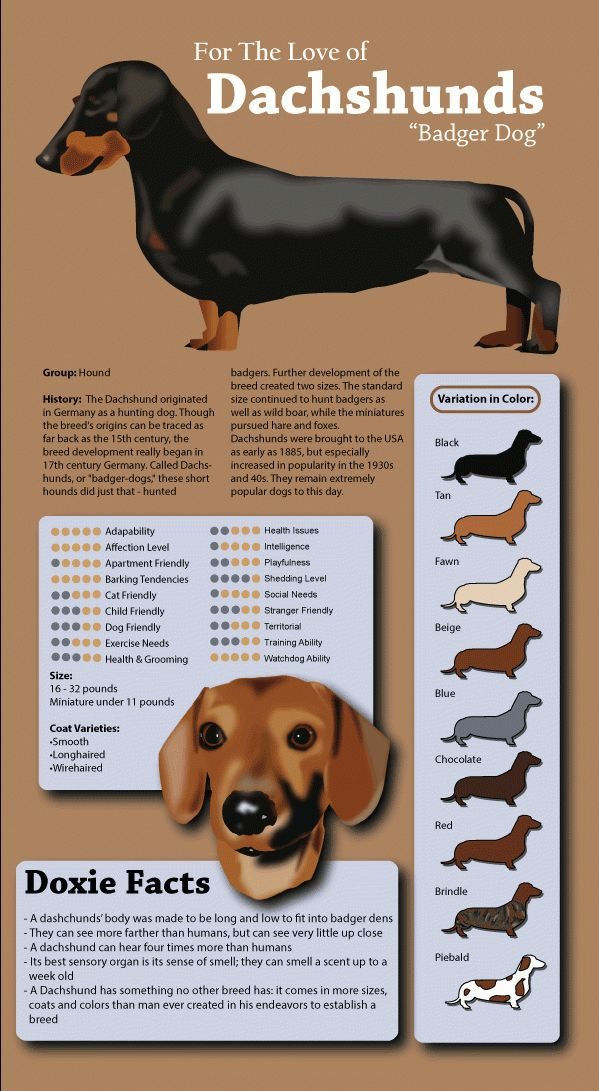 The dachshund is a short-legged, long-bodied dog breed that everybody loves. The daring, adventurous and curious dachshund is a true combination of terrier and hound. These traits combined with their incredible personalities are part of what make them one of the most popular breeds in America. For more fun facts continue reading the infographic below!…