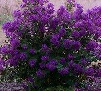 dwarf crepe myrtle varieties - Purple Velvet