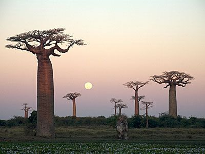 The so-called Avenue of the Baobabs is a remarkable collection of the huge Malagasy species of baobab, which is endemic to Madagascar. Growing up to 30 metres high, and living for up to 800 years, these trees once stood in dense tropical forest but now tower in lonely isolation. Their immense fire-resistant trunks can reach diameters of 11 metres and can store a mind-boggling 120,000 litres of water to survive through nine months of the dry season.