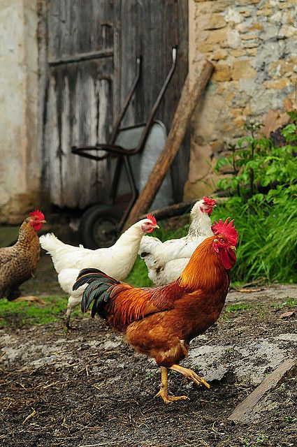 Country Chicks & Mr. Rooster