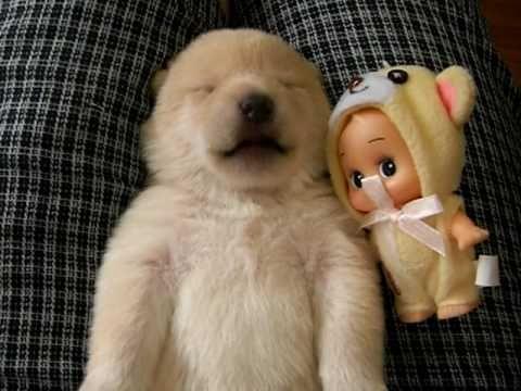 shiba inu puppy dreaming