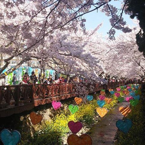 【kkday_id】さんのInstagramをピンしています。 《Ambil kameramu! Untuk berburu keindahan bunga sakura tercantik di Jinhae Festival, Korea Selatan🌸🌸🌸 . . . #kkdayID #jakarta #indonesia #kkday》
