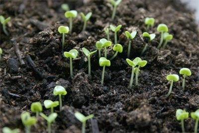 Hydrogen peroxide helps to sprout seeds for new plantings. Use a 3% hydrogen peroxide solution once a day and spritz the seed every time you re-moisten. You can also use a mixture of 1 PART HYDROGEN PEROXIDE TO 32 PARTS WATER to improve your plants' root system.