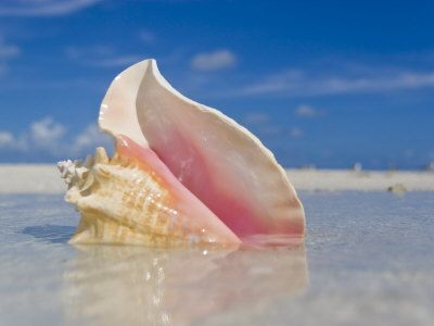 Queen Conch Shell. I'm a conch baby having been born in Key West