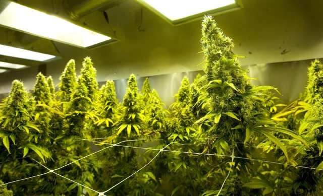 """5 Common Mistakes of New Cannabis Growers: """"Not Using Enough Light"""" - We have seen people trying to grow cannabis with small reading lights in their home. The cannabis that your plants yields will be in direct proportion to the amount of light it receives. Go big if you have the money and space!"""