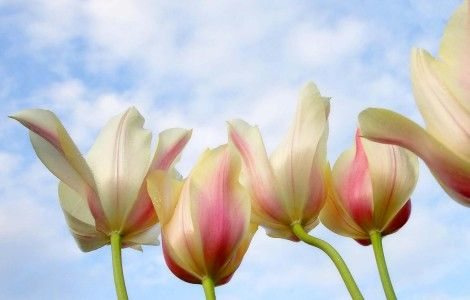 Tulips From Down Under Flower Wallpaper