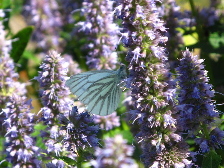 Grønåret kålsommerfugl på Agastache foe. 'Blue Fortune'