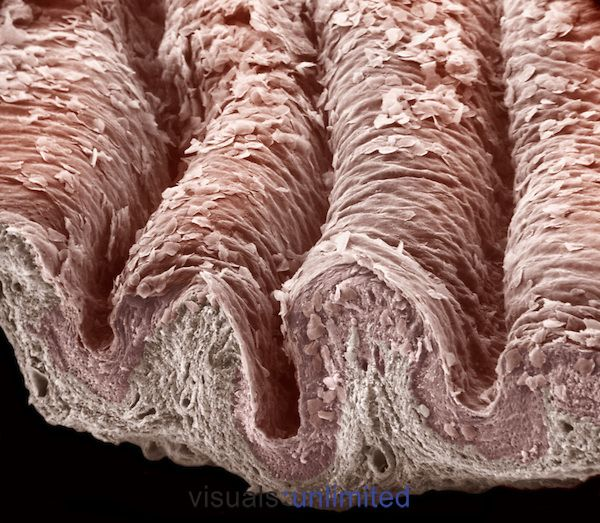 Cross-section of the mammal vagina stratified squamous epithelium and the underlying lamina propria. The vagina is kept moist from various glandular secretions but the wall itself lacks glands. Dr. Richard Kessel & Dr. Randy Kardon/Tissues & Organs/Visuals Unlimited, Inc.